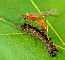Braconid wasp Aleiodes indiscretus laying eggs in a caterpillar (Wiki)